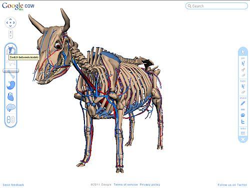 Googles Bodybrowser mit einer Kuh